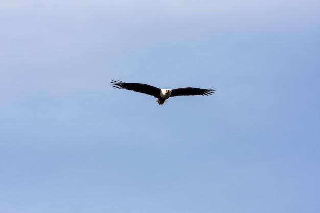 Fisher Ptak Nad Jeziorem Naivasha. Afryka Premium Zdjęcia