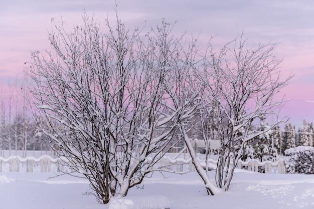 Gałąź Drzewa Pokryła Się Ciężkim śniegiem I Zachodem Słońca W Sezonie Zimowym W Holiday Village Kuukiuru, Finlandia. Premium Zdjęcia