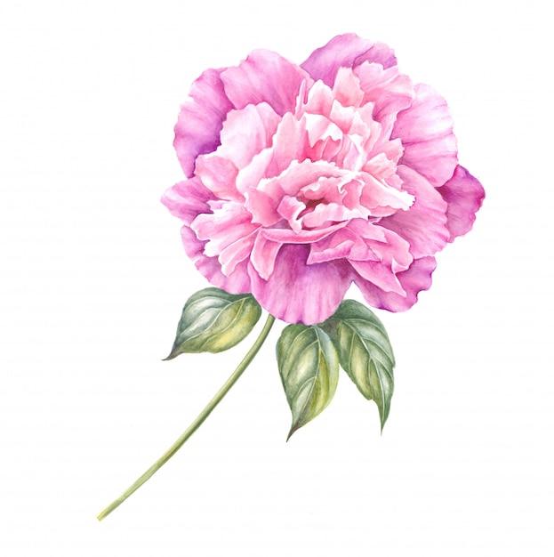 Gałąź Różowa Peonia Odizolowywająca Na Twój Wiosna Projekcie. Premium Zdjęcia