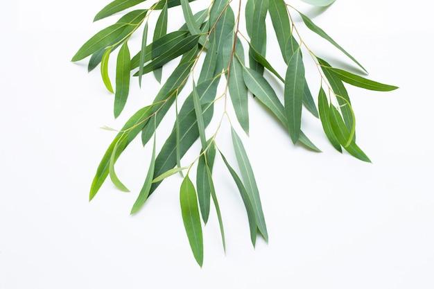 Gałęzie Eukaliptusa Na Białym Tle Premium Zdjęcia