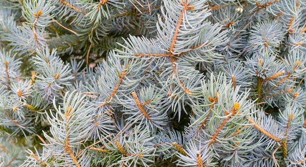 Gałęzie świerkowe - naturalne tło. święta bożego narodzenia. Premium Zdjęcia