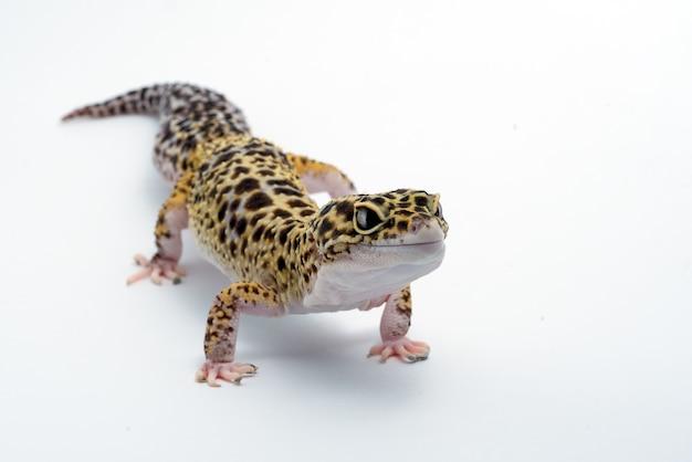 Gekon Lamparci Na Na Białym Tle Premium Zdjęcia