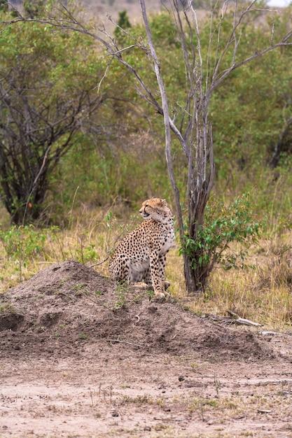 Gepard Obserwuje Zdobycz Premium Zdjęcia