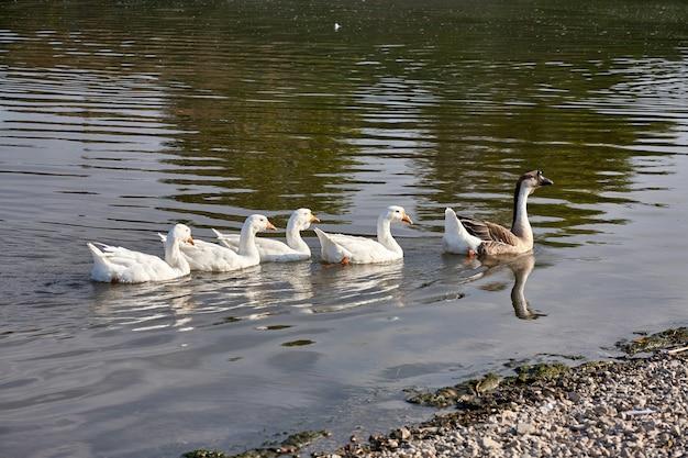 Gęś Nad Rzeką. Stado Gęsi Na Rzece Premium Zdjęcia
