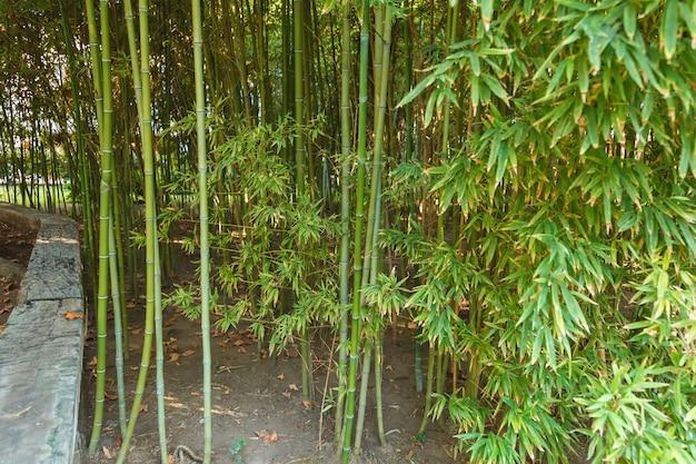 Gęste zarośla młodego bambusa. Premium Zdjęcia