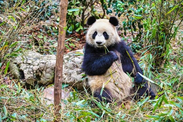 Gigantyczna panda je bambusa w chengdu chiny Premium Zdjęcia