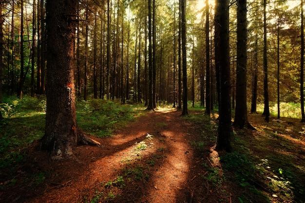 Głęboki las rano z promieniami słońca Premium Zdjęcia