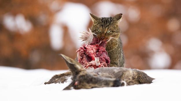 Głodny żbik Europejski żerujący Zimą Na śniegu Premium Zdjęcia