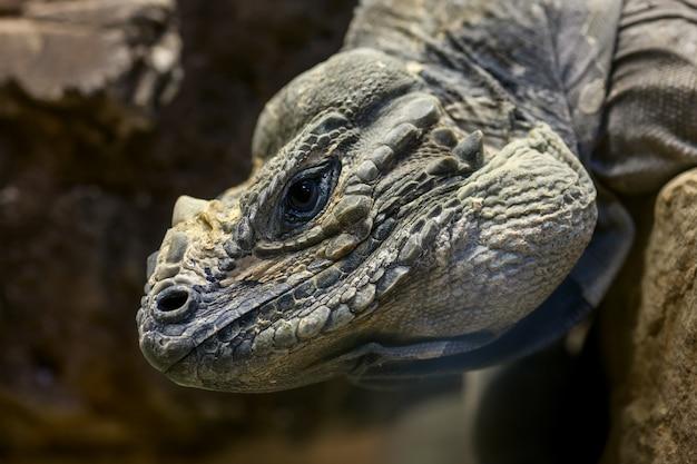Głowa Iguany Darmowe Zdjęcia