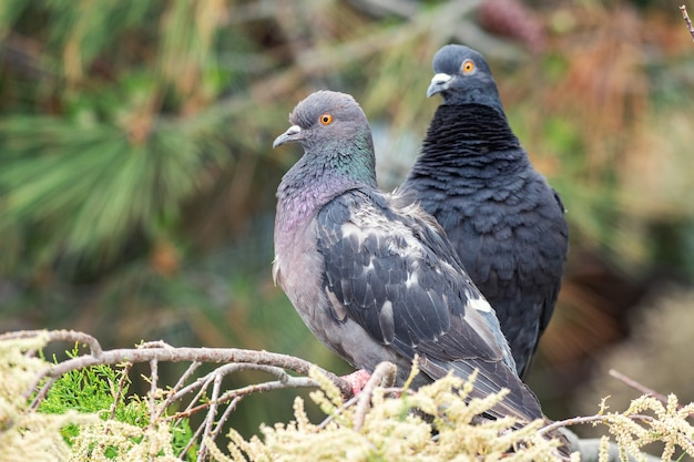 Gołąb. Dwa Gołębie Siedzące Na Gałęzi Drzew Iglastych. Premium Zdjęcia