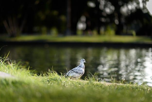 Gołąb Na Ziemi Z Dalight Premium Zdjęcia