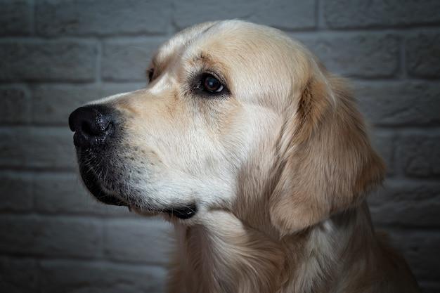 Golden Retriever, Close-up Portret Psa Premium Zdjęcia