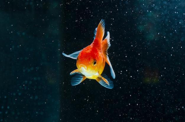 Goldfish Natura Piękna Ryba Premium Zdjęcia