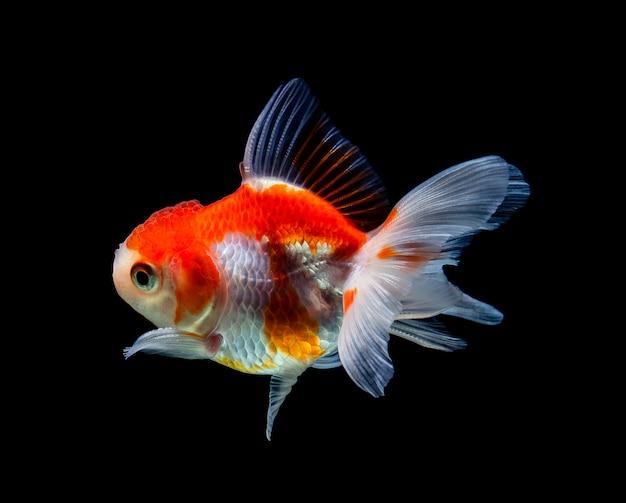Goldfish Samodzielnie Na Ciemny Czarny Premium Zdjęcia