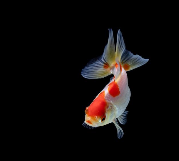 Goldfish Samodzielnie Na Ciemnym Tle Czarnym Premium Zdjęcia