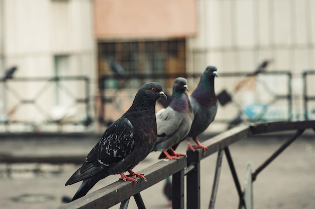 Gołębie siedzą na żelaznym ogrodzeniu na dziedzińcu wielopiętrowego budynku dziedziniec miejski Premium Zdjęcia