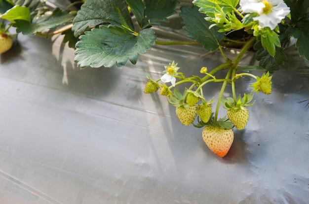 Gospodarstwo jagodowe stosuje rolnictwo plastikowe w formacie kwadratowym Premium Zdjęcia