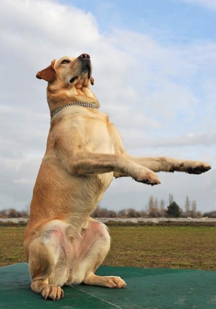 Gra Labrador Retriever Premium Zdjęcia