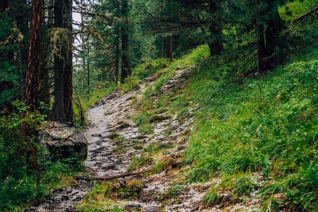 Grad na szlaku w ciemnym lesie iglastym. atmosferyczny krajobraz leśny z bogatą florą leśną. grad w lesie. ścieżka w górach. wznieś się na górze przez lasy. droga w górę w ciemnym lesie iglastym. Premium Zdjęcia
