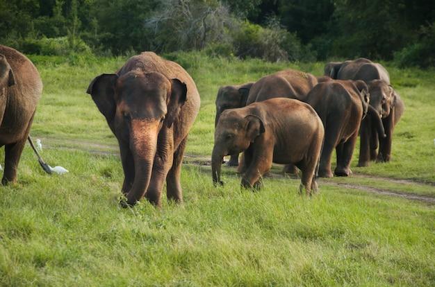 Grupa Azjatykci Słonie W Sri Lanka Premium Zdjęcia