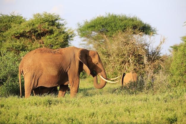 Grupa Słoni W Parku Narodowym Tsavo East, Kenia, Afryka Darmowe Zdjęcia