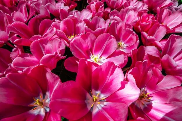 Grupowi Różowi Tulipany Przeciw Niebu. Wiosenny Krajobraz. Premium Zdjęcia
