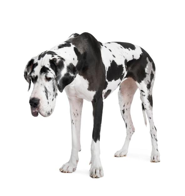 Harlequin Dog Niemiecki Premium Zdjęcia