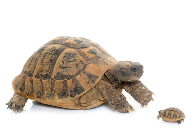 Hermanns Tortoise I Baby Turtle Premium Zdjęcia