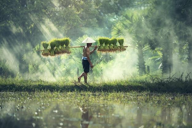 Hodowla ryżu, rolnicy uprawiają ryż w porze deszczowej. Premium Zdjęcia