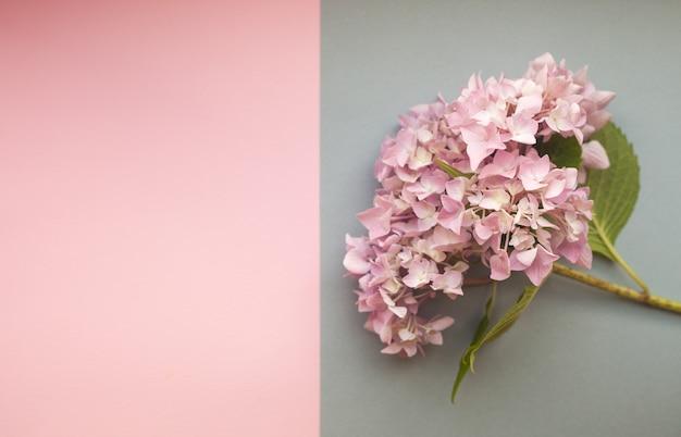 Hortensja różowe kwiaty skład na tle duotone z copyspace Premium Zdjęcia