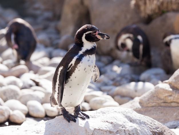 Humboldt pingwinu pozycja na kamieniach Darmowe Zdjęcia