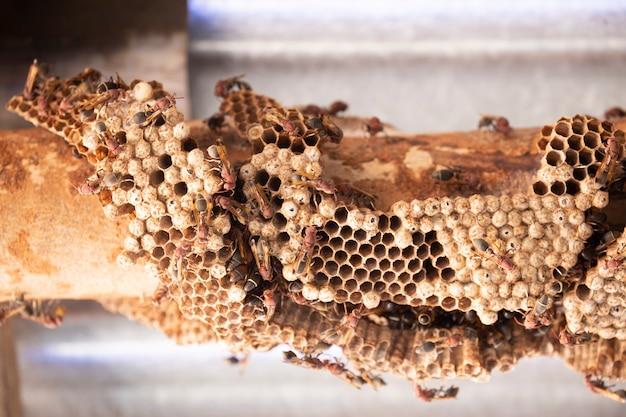 Hymenoptera Na Drewnie. Gniazdo Os. Premium Zdjęcia