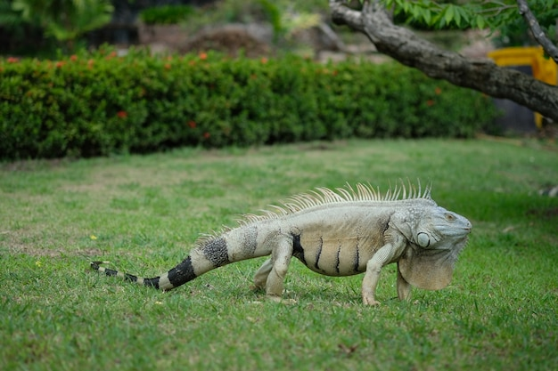 Iguana Kłaść Na Zielonej Trawy Polu Premium Zdjęcia