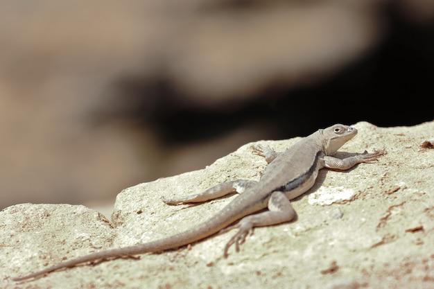 Iguana Peruwiańska (microlophus Peruvianus) Premium Zdjęcia