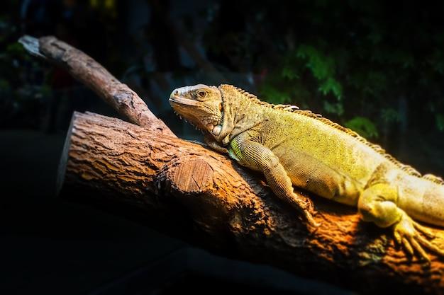 Iguana Zielona Na Pniu Drzewa W Lesie Tropikalnym Premium Zdjęcia