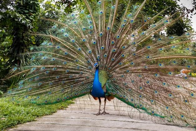 Indiański błękitny peafowl Premium Zdjęcia