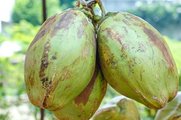 Indyjska Zielona Kokosowa Wiązka Lub Grupa Premium Zdjęcia