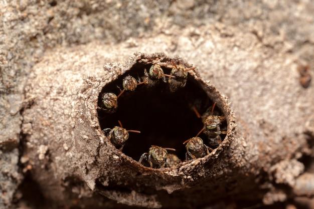 Iraã ± Nannotrigona Testaceicornis Kolonia Gniazdowa - Pszczoły Bezżądłowe Premium Zdjęcia