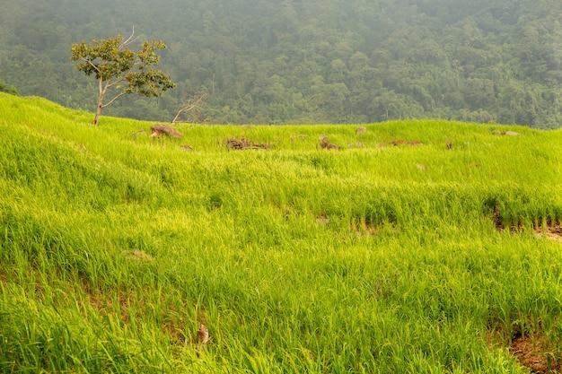 Irlandczyków Ryż Segregował Przyrosta W Halnym Natury Tła Krajobrazie. Premium Zdjęcia