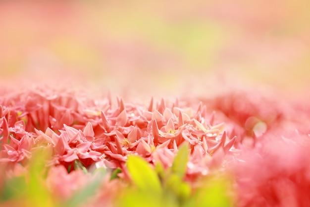 Ixora Coccinea, Rodzaj Roślin Kwiatowych Z Rodziny Rubiaceae, Czerwony Kwiatostan, Selektywne Skupienie I Stonowany Kolor. Premium Zdjęcia