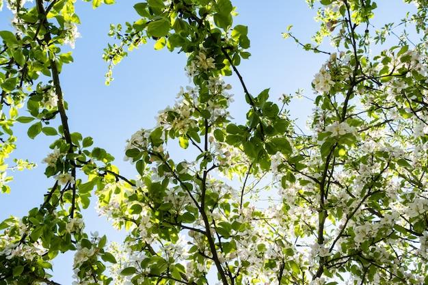Jabłczany Sad W Kwiacie W Wiośnie Pod Słońcem I Niebieskim Niebem Premium Zdjęcia