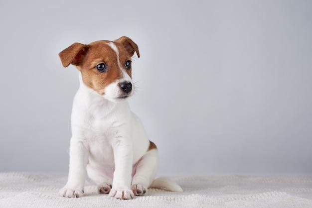 Jack Russel Terier Szczeniak Pies Na Szarej ścianie Premium Zdjęcia