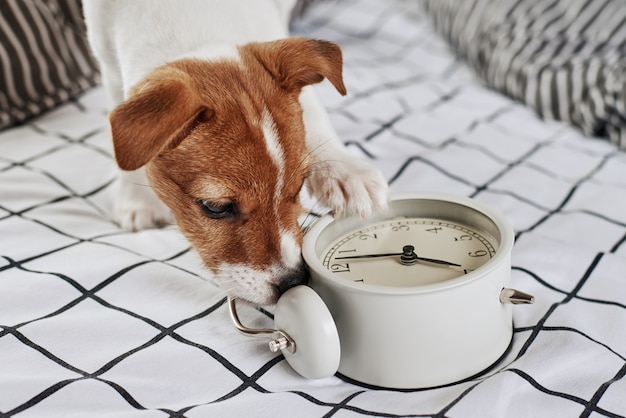Jack Russell Terrier Pies Skubie Vintage Budzik W łóżku Premium Zdjęcia