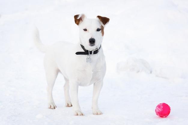 Jack russell terrier Premium Zdjęcia