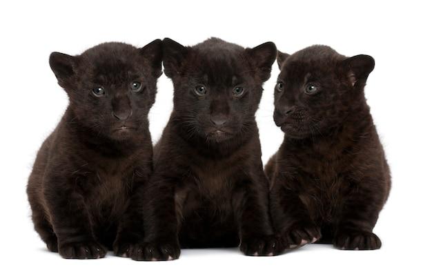Jaguar, 2 Miesiące, Panthera Onca, Siedzi Premium Zdjęcia