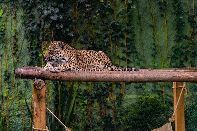Jaguar Odpoczywa W Trawie, Naturze, Dzikich Zwierzętach. Premium Zdjęcia