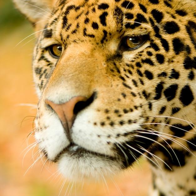 Jaguar - Panthera Onca Przed Pomarańczowym Tłem Premium Zdjęcia
