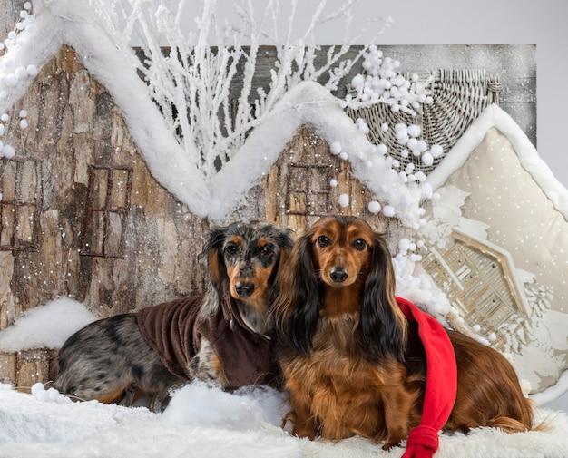 Jamniki Przed świąteczną Scenerią Premium Zdjęcia