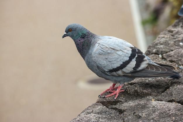 Japończyk nurkujący ptasia pozycja na rockowym kamieniu. Premium Zdjęcia