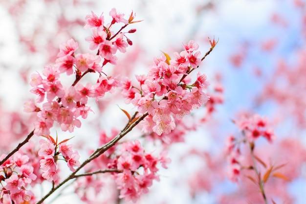 Japoński Kwiat Wiśni Na Wiosnę Premium Zdjęcia